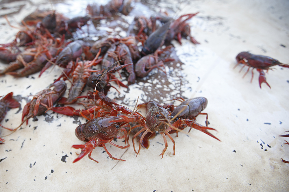 Crawfish await the boil in the town of Panacea on Saturday, May 23, 2015.